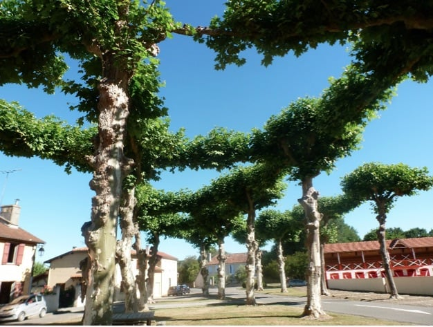 Plane trees and the bullring at Nogaro